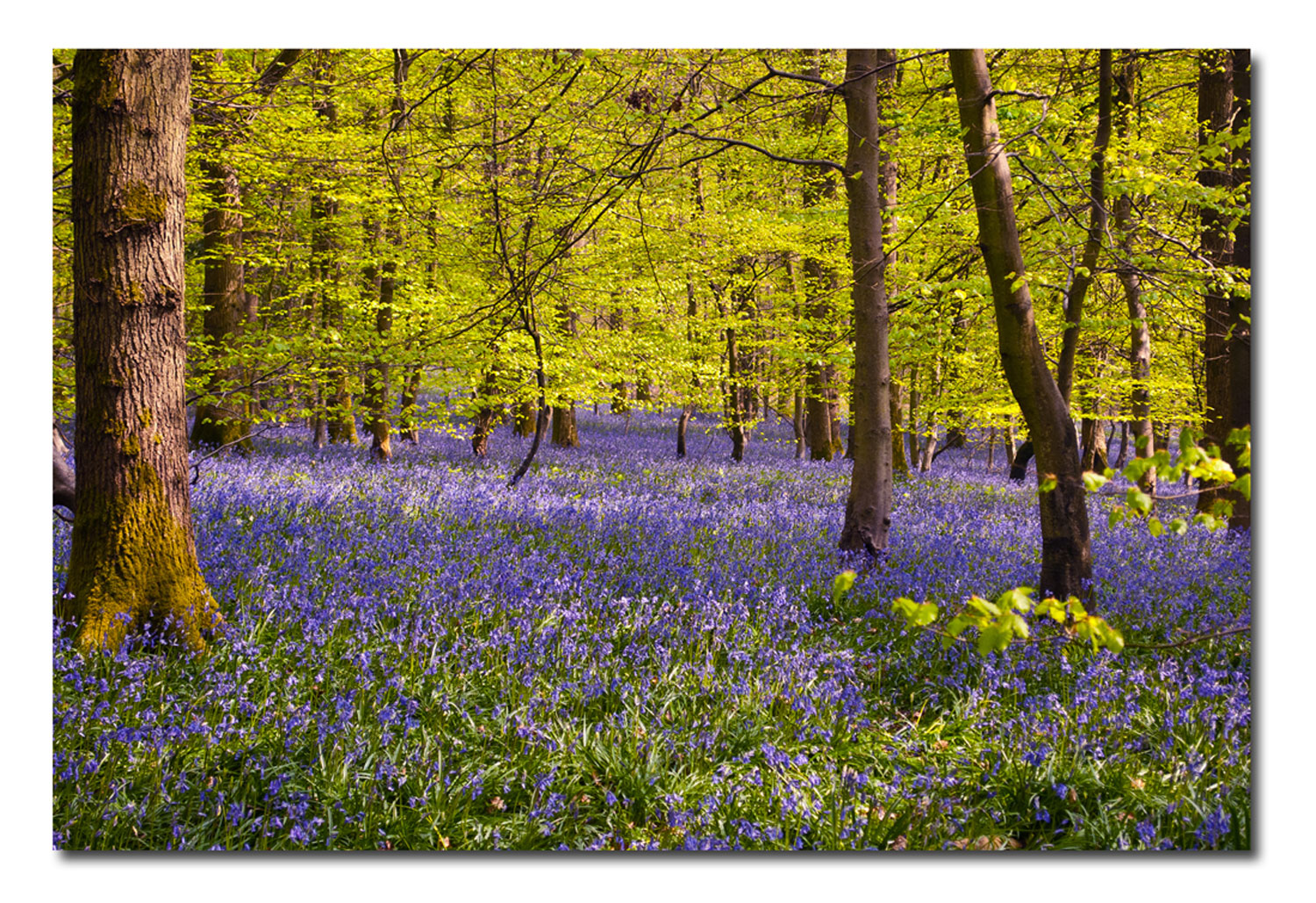 There isn't a finer floral sight than blankets of bluebells, and the Forest of Dean is one of the best places in the UK to see the blossoming flowers.