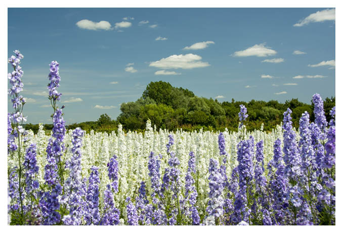 An amazing vista of colour.... Late June to early August, the Delphinium Flower Fields at Wick are open to visit. They are recorded in the Guinness Book of Records as the largest carpet of flowers.