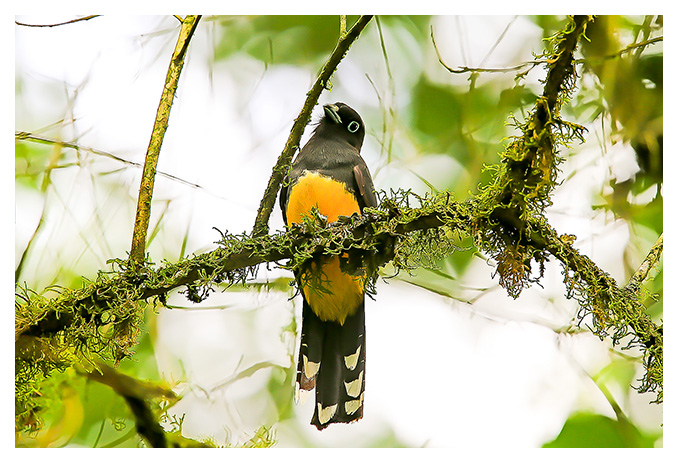 A collection of bird photographs captured by Ron Cooper while on location in Costa Rica...