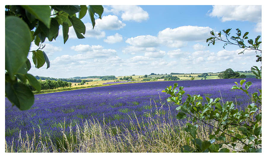 Lavender Farm in the Cotswolds producing a wide range of lavender gifts and toiletries including lavender oils, lavender soaps, dry and culinary lavender.